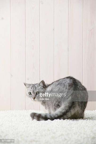 Mixed breed cat looking at camera