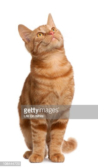 Mixed breed cat (6 months old)  : Stock Photo