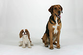 Mixed Breed Dog and Cavalier King Charles Spaniel