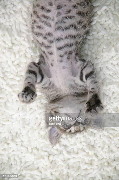 Mixed breed kitten lying on back
