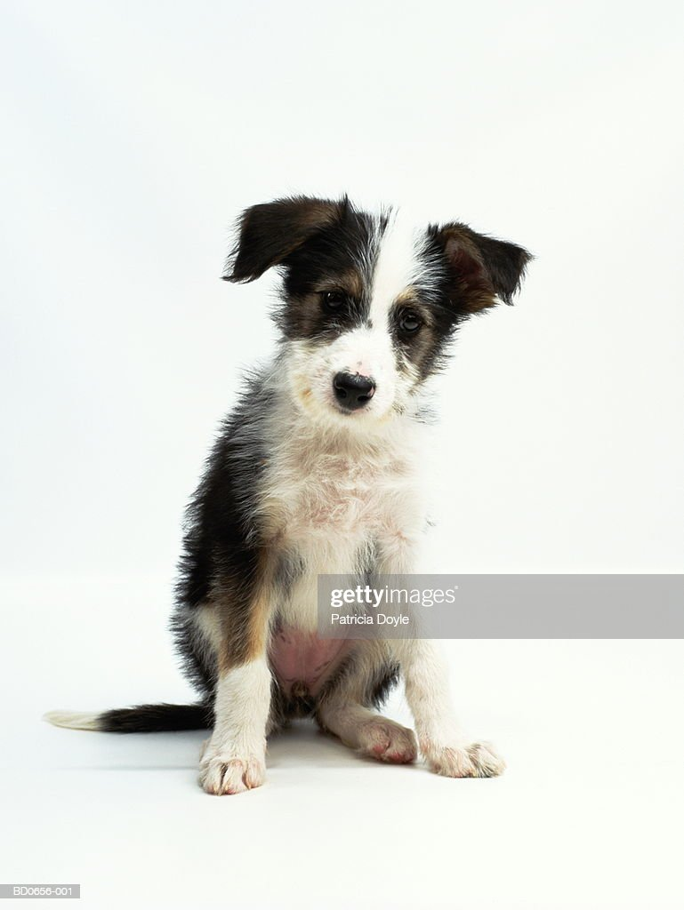 Mixed breed puppy sitting against white background, close-up