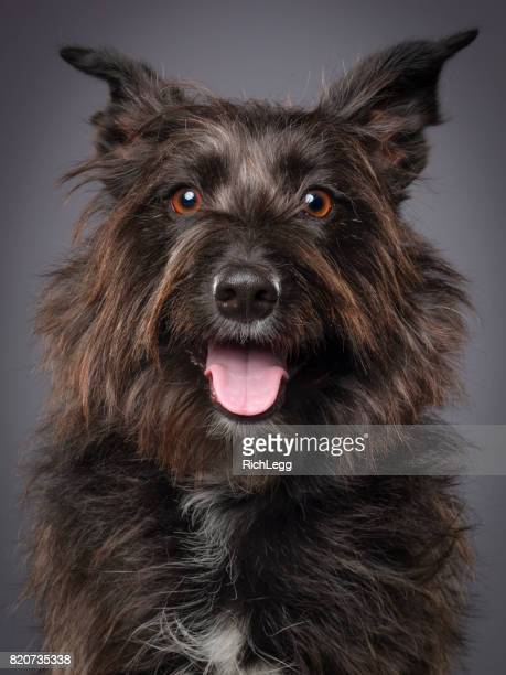 Mixed Breed Scottish Terrier Dog