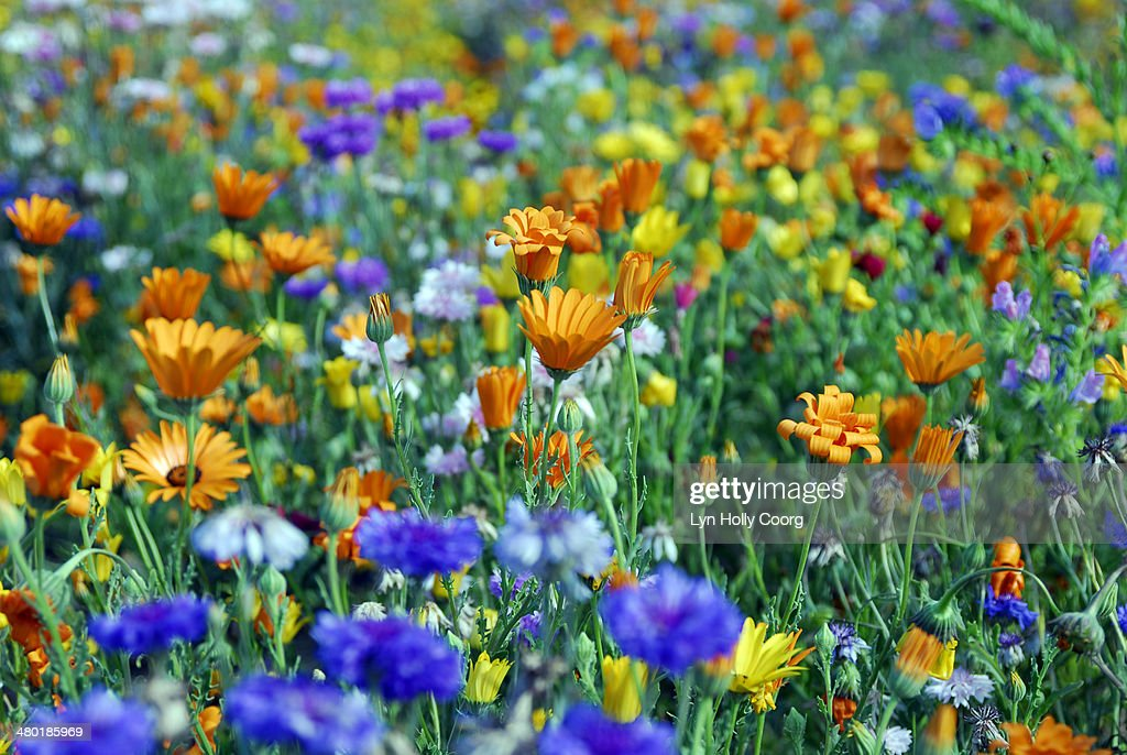 Mixed colourful wildflowers