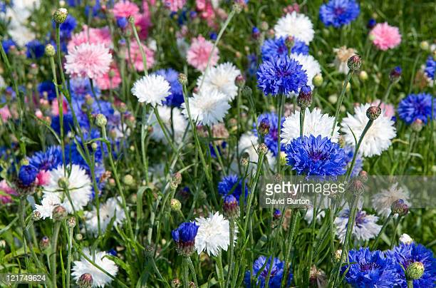 Mixed cornflowers (Centaurea cyanus)