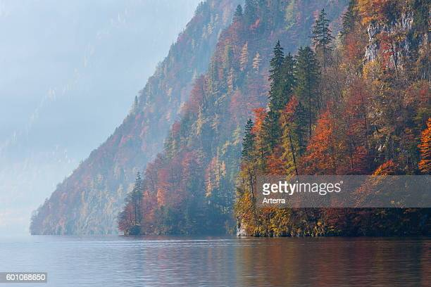 Mixed forest on mountain slope along Lake Konigssee in autumn in the Berchtesgaden National Park Alps Bavaria Germany