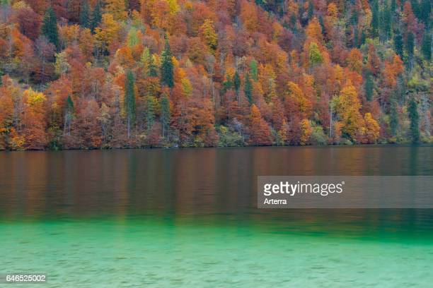 Mixed forest showing autumn colours along Konigssee / Kings lake Berchtesgaden National Park Bavarian Alps Bavaria Germany