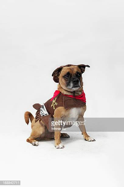 A mixed Pug and Jack Russell Terrier wearing a Sheriff's costume