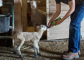 Mixed race boy feeding lamb on farm