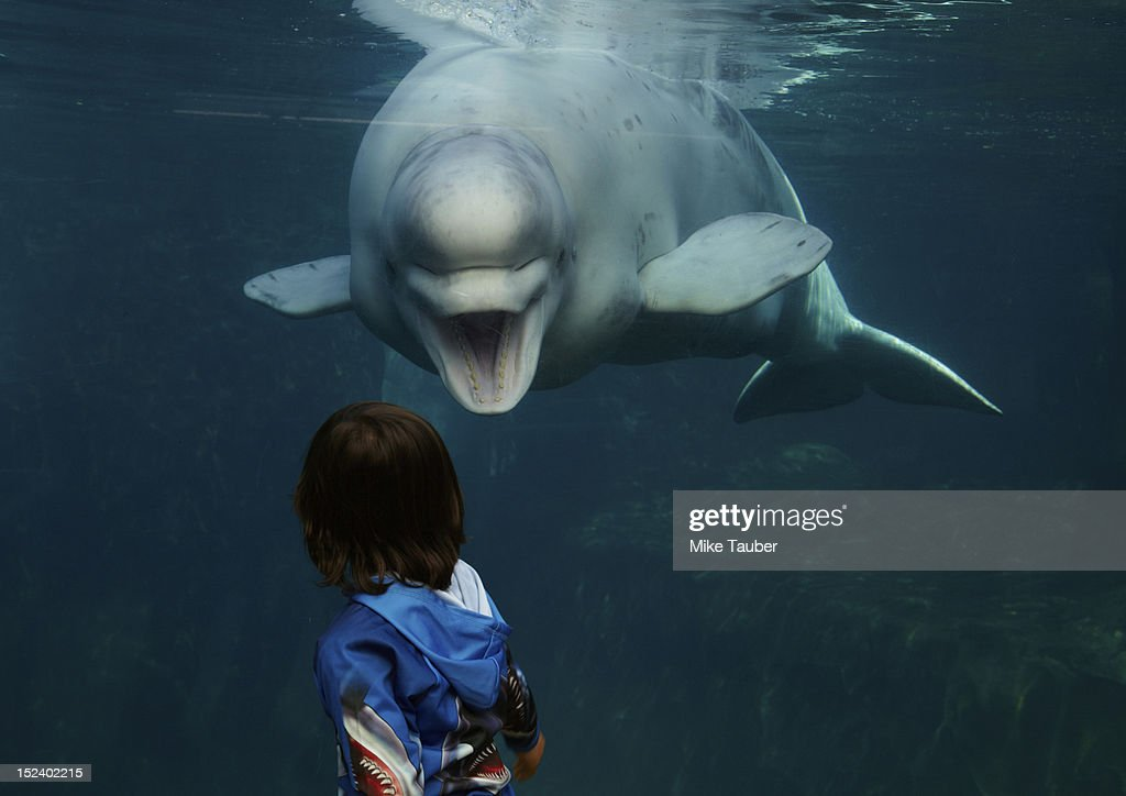 Mixed race boy looking at beluga whale