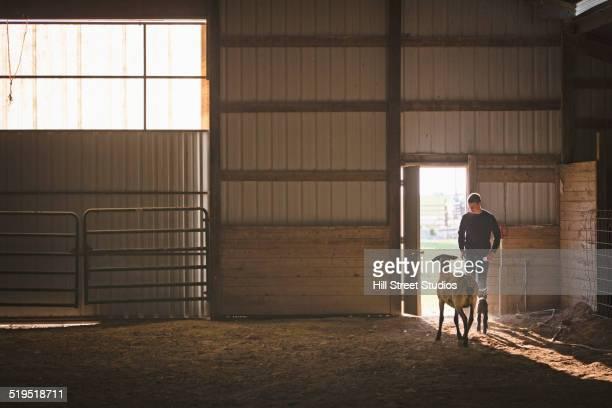 Mixed race boy looking at sheep in barn