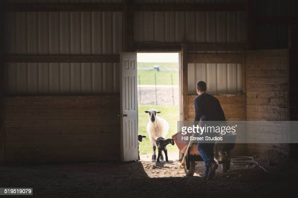Mixed race boy pushing wheelbarrow to sheep in barn