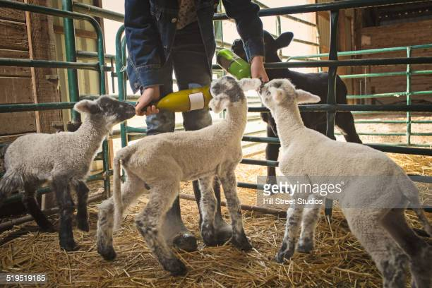 Mixed race girl feeding calf and lambs in barn