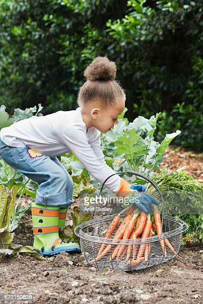 Mixed Race girl picking bunch of carrots from garden