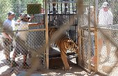 A mixed SiberianBengali tiger named Kuba steps out of a cage back to his enclosure upon return to the Wildlife Waystation in Sylmar California on...