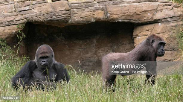 Mjukuu now a permanent resident at London Zoo who has caught the eye of male silverback Bobby The pair have 'consummated their relationship' 17 times...