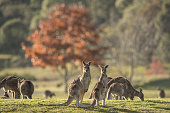 A mob of kangaroos graze on a football field in the late afternoon