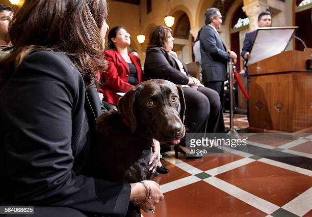 Mocha the 7–month old Chocolate Lab patiently observes what's going on in City Council Chambers in the arms of her owner Norma Cardenas wife of LA...