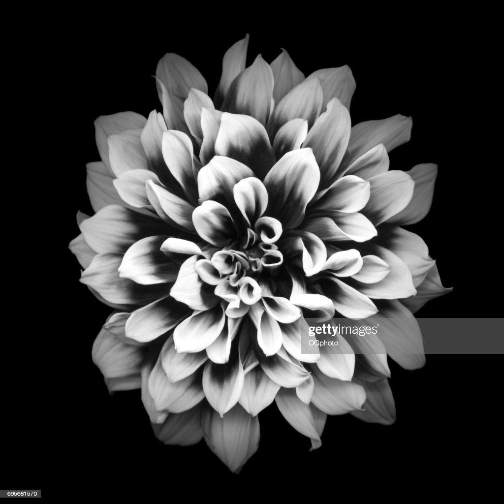 Mochrome dahlia isolated on black background : Stock Photo