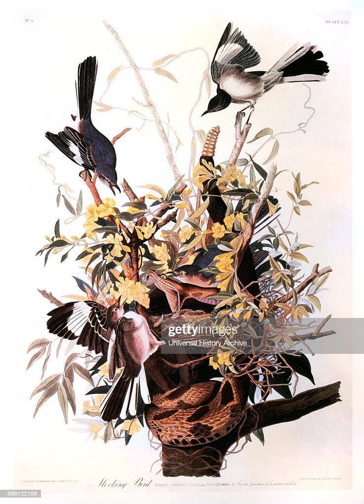 Mocking Bird on Jasmine Vine HandColored Etching from the Book 'The Birds of America' by John James Audubon circa 1830's