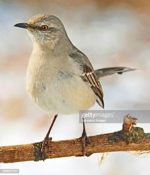 Mockingbird in Winter Animal Portrait