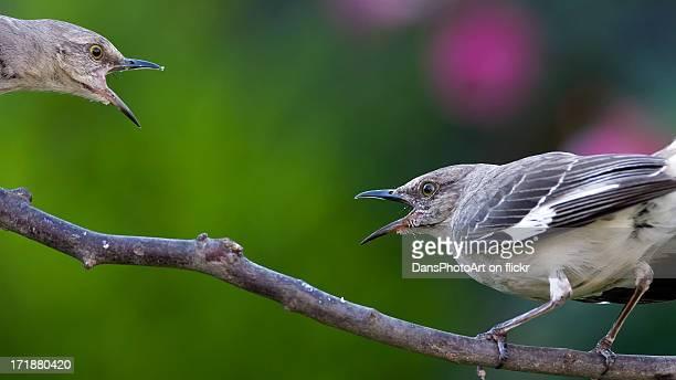 Mockingbird Showdown