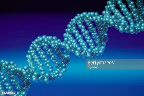 Model of a DNA Molecule