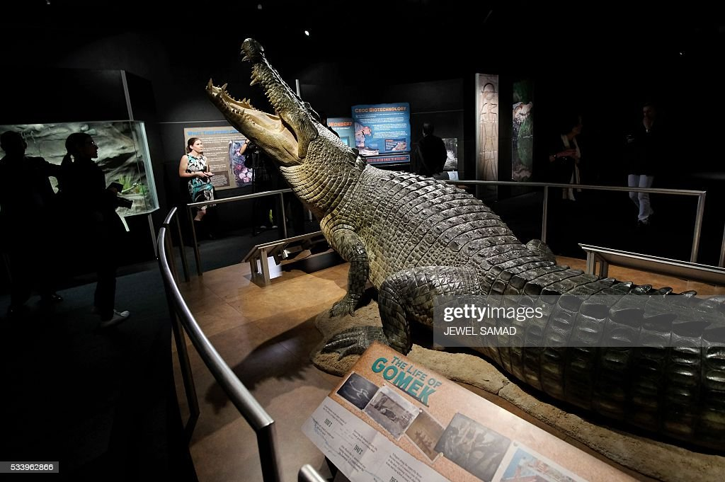 A model of a Gomek is displayed at the American Museum of Natural History during the press preview of the exhibition 'Crocs: Ancient Predators in a Modern World' on May 24, 2016 in New York. The exhibition, which explore the complex lives of crocodiliansthe group including crocodiles, alligators, caimans, and gharialstheir evolutionary history, biology, behavior, and precarious relationships with human societies, will be open to public from May 28, 2016 to January 2, 2017. / AFP / JEWEL