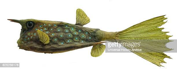 model of a longhorn cowfish a variety of boxfish from the family ostraciidae dated 21st century