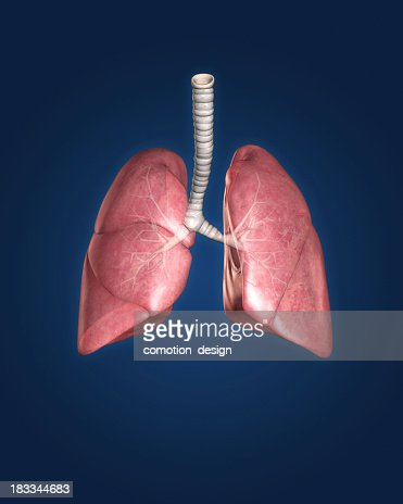 Model of a set of lungs on a blue background