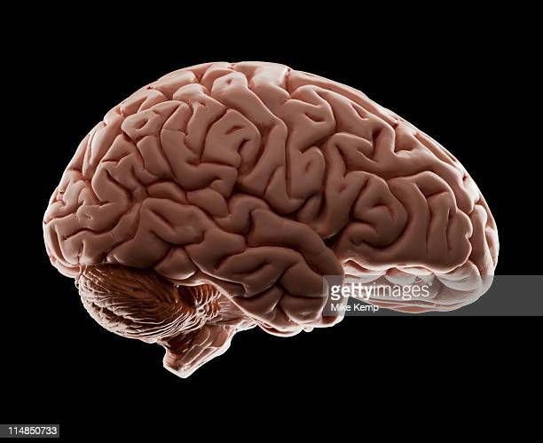 Model of human brain, studio shot