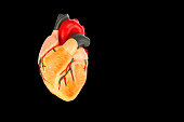 Model of human heart isolated on black background. This plastic model is used on high school in biology lesson to teach the students how our bodies are functioning. Humans have many vital organs in th