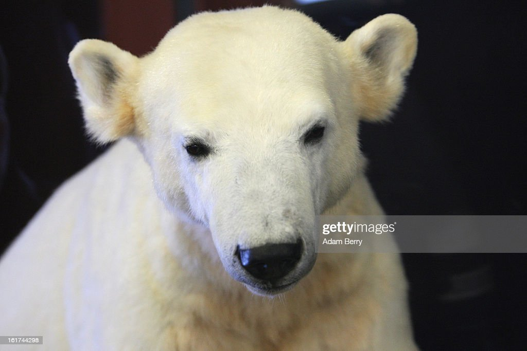 A model of Knut the polar bear, featuring his original fur, is displayed in the Natural History Museum (Naturkundemuseum), on February 15, 2013 in Berlin, Germany. Though Knut, the world-famous polar bear from the city's zoo abandoned by his mother and ultimately immortalized as a cartoon film character, stuffed toys, and more temporarily as a gummy bear, died two years ago, he will live on additionally as a partially-taxidermied specimen in the museum. Until March 15, the dermoplastic model of the ursine celebrity will be on display before it joins the museum's archive, though visitors can see it once again as part of a permanent exhibition that begins in 2014.