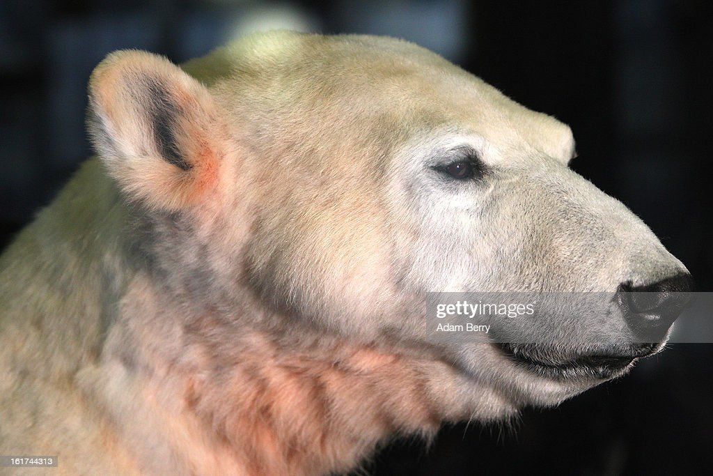 A model of Knut the polar bear, featuring his original fur, stands in the Natural History Museum (Naturkundemuseum), on February 15, 2013 in Berlin, Germany. Though Knut, the world-famous polar bear from the city's zoo abandoned by his mother and ultimately immortalized as a cartoon film character, stuffed toys, and more temporarily as a gummy bear, died two years ago, he will live on additionally as a partially-taxidermied specimen in the museum. Until March 15, the dermoplastic model of the ursine celebrity will be on display before it joins the museum's archive, though visitors can see it once again as part of a permanent exhibition that begins in 2014.