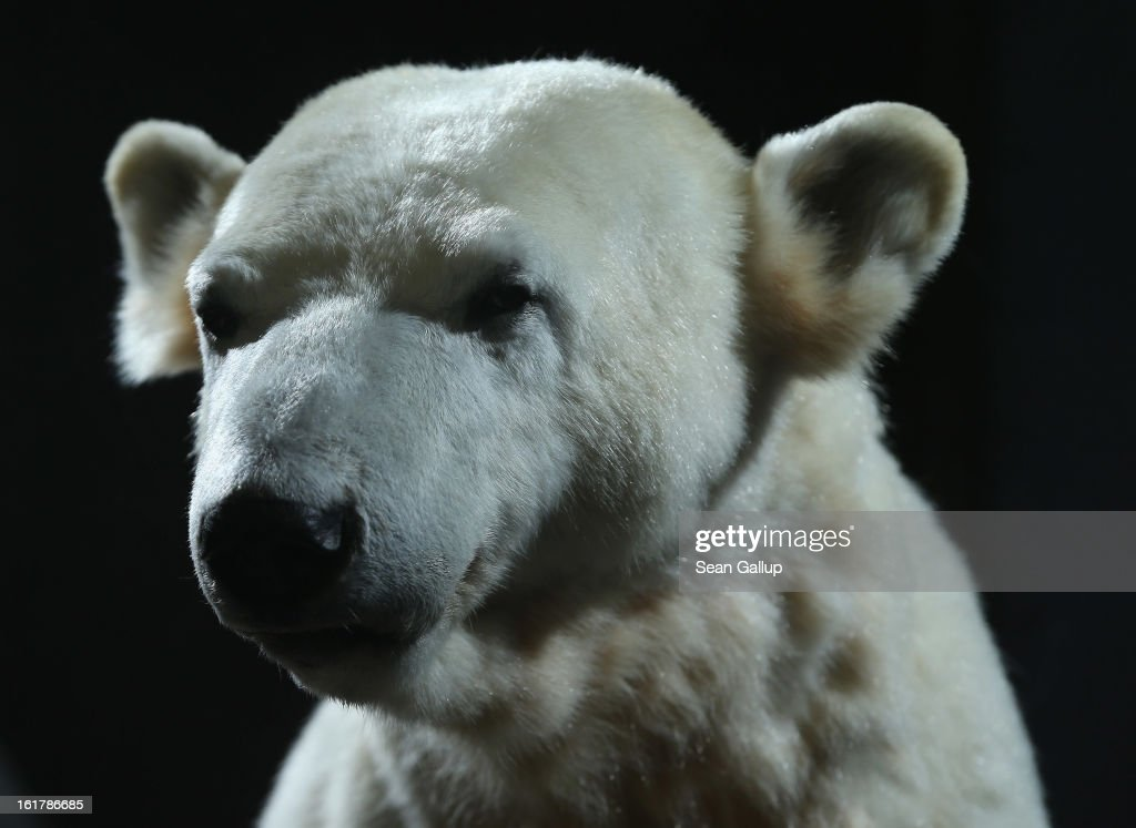 A model of Knut the polar bear, that features Knut's original fur, stands on display to the public on its first day at the Natural History Museum on February 16, 2013 in Berlin, Germany. Though Knut, the world-famous polar bear from the Berlin zoo abandoned by his mother and ultimately immortalized as a cartoon film character, stuffed toys, and more temporarily as a gummy bear, died two years ago, he will live on additionally as a partially-taxidermied specimen in the museum. Until March 15, the dermoplastic model of the bear will be on display before it joins the museum's archive, though visitors can see it once again as part of a permanent exhibition that begins in 2014.