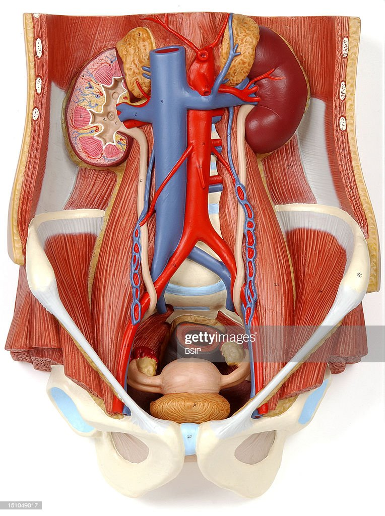 Model Of The Anatomy Of The Urinary Tract Of A Female Adult Human Body, Anterior View. The Deep Organs Can Be Seen Here Thanks To The Removal Of The Digestive System Liver, Gallblader, Stomach, Pancreas, Intestines. The Pelvic Cavity Is Surrounded By The Pelvic Bones, Composed In The Anterior Region Of The Iliac Bones, Joining Together At The Pubic Symphysis Light Blue. A Portion Of The Rectum Brown Appears In Frontal Section Under The Sacral Promontory Hip Bone, Off White With Pale Blue Stripes. The Kidneys Filter The Blood That They Receive From The Renal Artery Red, A Branch Of The Abdominal Aorta, Producing Urine, Which Is Then Collected In The Renal Pelvis Central Structure Of The Kidney, Beige, And Carried By The Ureters Beige Ducts To The Urinary Bladder Reddish Brown, Above The Pubic Symphysis. The Filtered Blood Is Next Drained By The Renal Vein Blue, Which Empties Into The Inferior Vena Cava. The Right Kidney Is Shown In Frontal Section, Exposing Its Internal Anatomy. It Is Composed Of The Cortex Pinkish Superficial Area And The Medulla, Which Includes Several Malpighian Pyramids Pink. The Top Of Each Pyramid, Called The Papilla, Leads To A Calyx White That Collects The Urine And Pours It Out Into The Renal Pelvis. The Kidneys Are Surmounted By The Hormone Secreting Adrenal Glands Orange. In The Pelvic Cavity, The Ovaries Cream Coloured Produce Oocytes Which Are Picked Up By The Fallopian Tubes Red Which Are Linked By Ducts To The Uterine Cavity Flesh Colored. The Ovaries Are Also Connected To The Uterus By Their Own Ligaments. The Abdominal Aorta Red Divides Into The Right And Left Common Iliac Arteries, Then Into The External Iliac Arteries In The Pelvis To Irrigate The Lower Limbs. It Ramifies In Order To Vascularize The Abdominal Organs, Such As The Renal Arteries For The Kidneys, And The Ovarian Arteries Running Alongside The External Iliac Arteries And