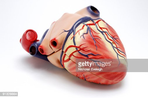 A model of the human heart : Stock Photo
