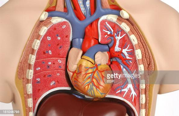 Model Of The Intern Anatomy Of The Chest Of An Adult Human Body Face On At The Thoracic Level The Intern Structure Of The Heart And The Lungs Is...