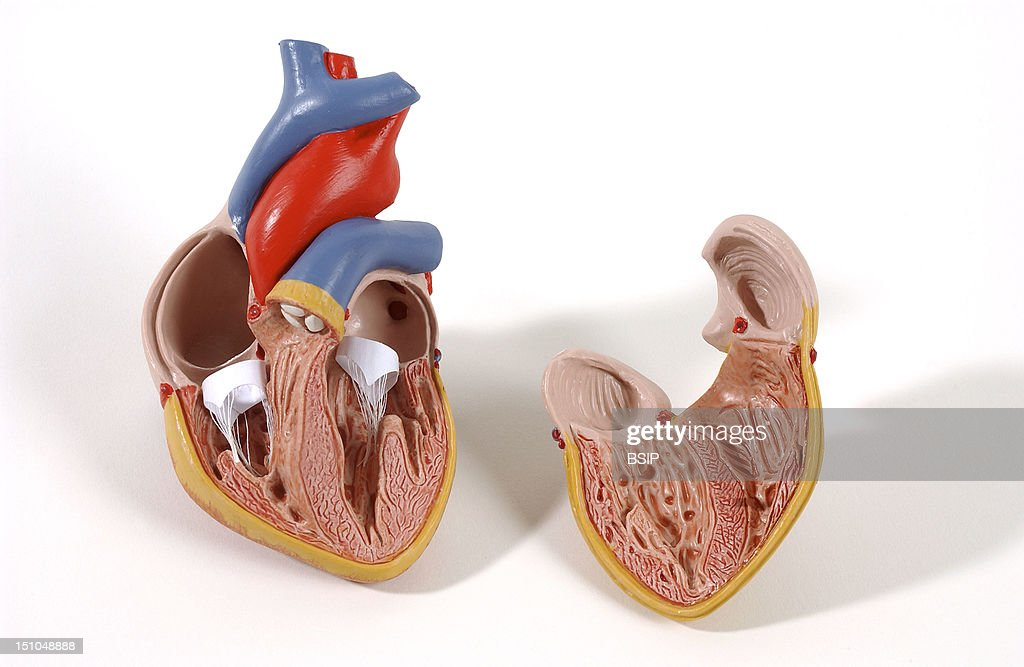 Model Of The Intern Anatomy Of The Heart Of An Adult Human Body Anterior View Of A Frontal Section The Heart Contains Four Cavities Two Atriums In...