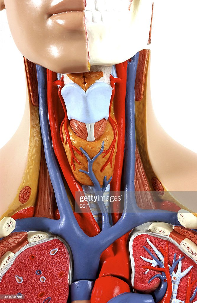 Model Of The Intern Anatomy Of The Neck Of An Adult Human Body Face On In The Left Half Of The Head Are Shown The Bones Of The Face Behind The Adam's...