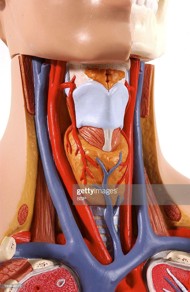 Model Of The Intern Anatomy Of The Neck Of An Adult Human Body In Three Quarter View In The Left Half Of The Head Are Shown The Bones Of The Face...