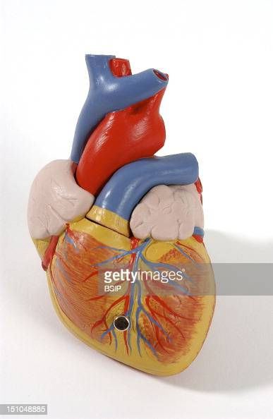 Model Of The Superficial Anatomy Of The Heart Of An Adult Human Body Anterior View The Heart Contains Four Cavities Two Atriums In Its Upper Part And...