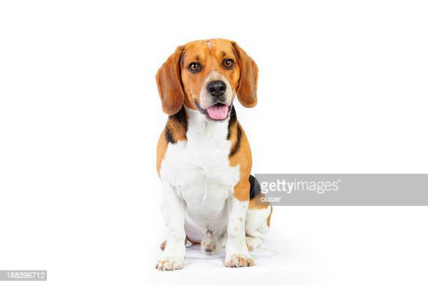 Model shot of young beagle dog