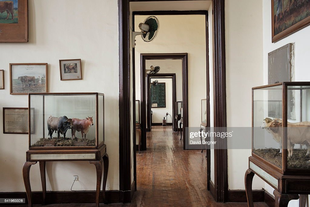 Models Of Different Types Bulls Stand In A Hall Dedicated To Farming History On January