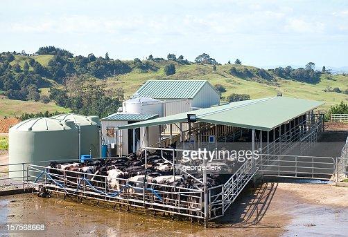 Modern Dairy Milking