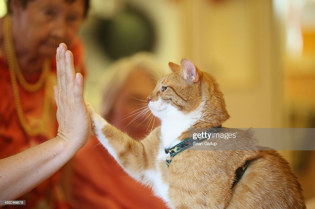Mogli lifts a paw to touch the palm of his owner Eva Kullmann as facility residents who both suffer from dementia look on during the cat's weekly...