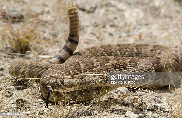 Mohave rattlesnake or Mojave green Viperidae
