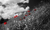 Poppies on a dike landscape (colorkey)