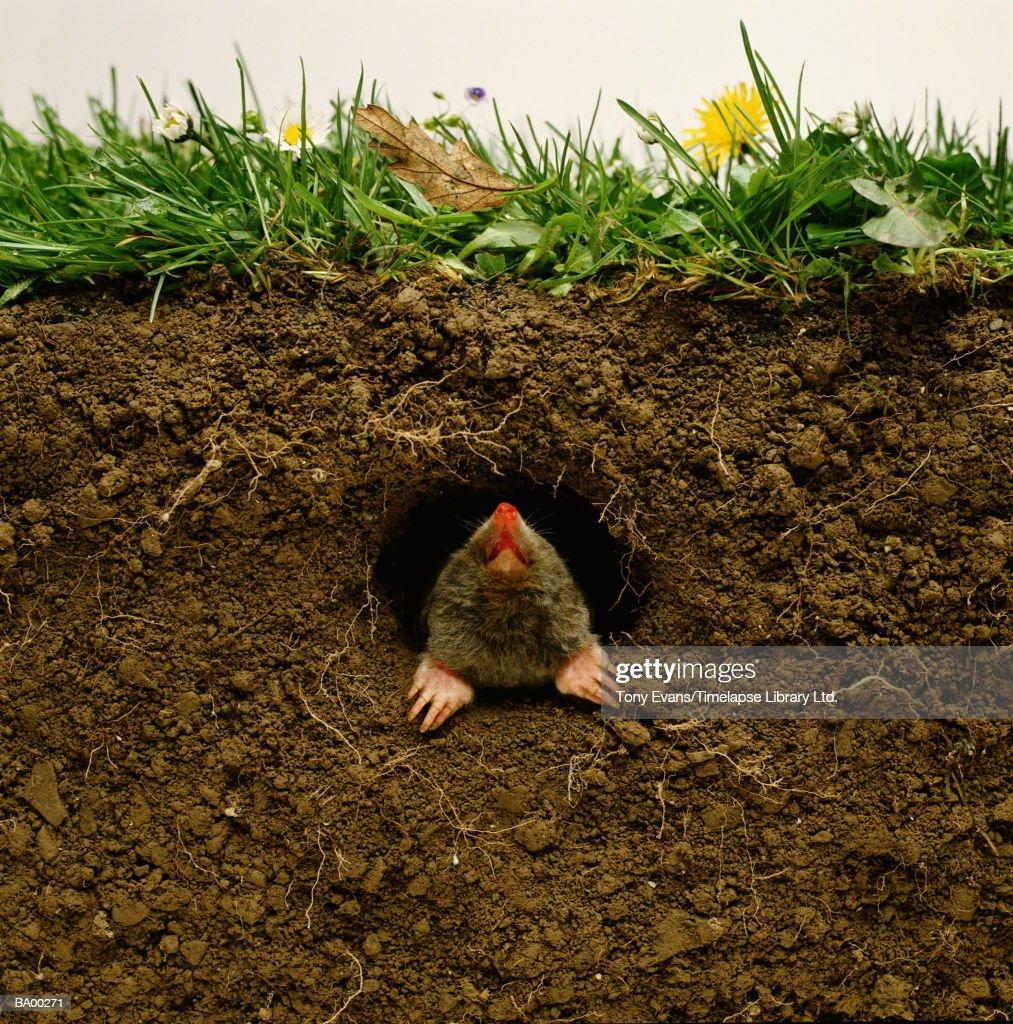 Mole emerging from burrow (Talpa occidentalis)
