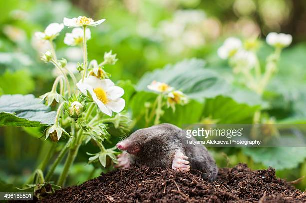 Mole in the garden