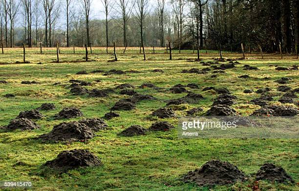 Molehills / mole mounds / molecasts by European mole in field